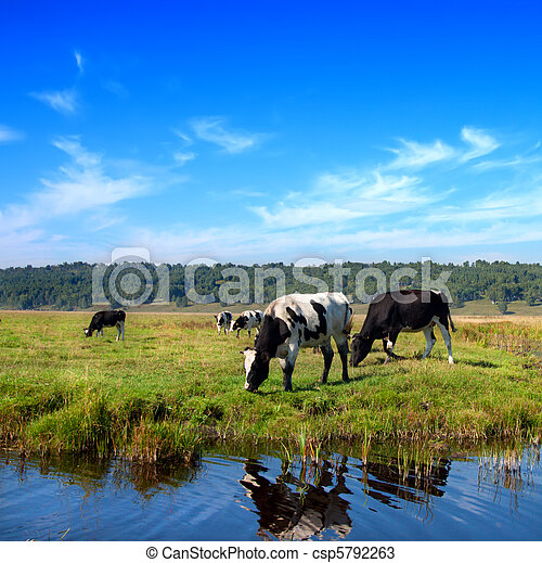 Herd of cows grazing in meadow  - csp5792263