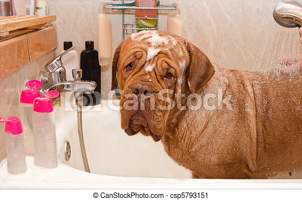 Cleaning the Dog of Dogue De Bordeax Breed in bath. - csp5793151