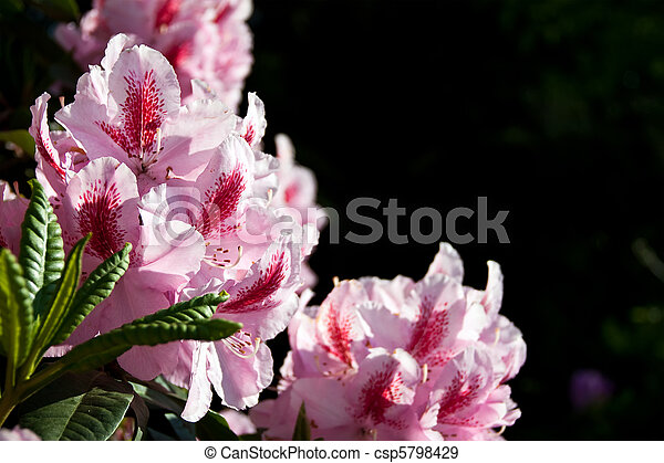 Flowers pink Rhododendron - csp5798429
