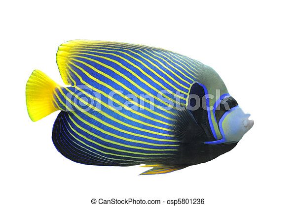 Emperor Angelfish - csp5801236