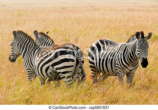 Three zebras stand guard in the Maasai Mara National Game Reserve, Kenya. - csp5801637