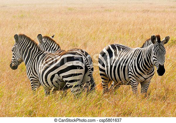 Three zebras stand guard in the Maasai Mara National Game Reserve, Kenya. - csp5801637