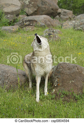 Coyote howling - csp5804594