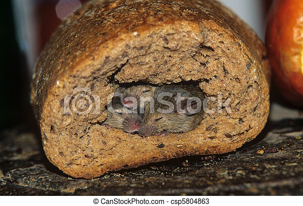Stock de fotos de ratones madriguera bread animal - Roedores de campo ...