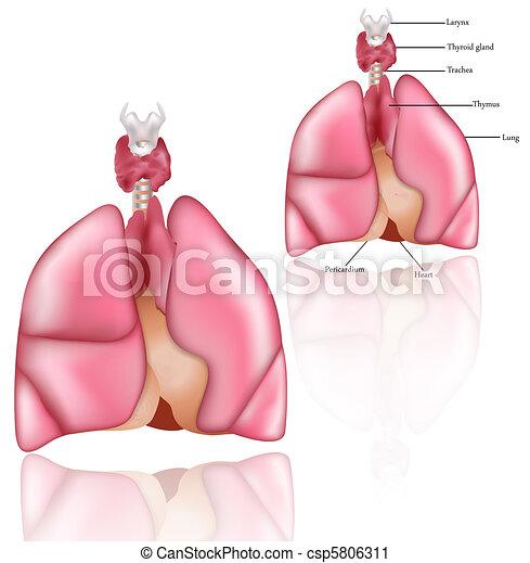 Lungs, Thymus, thyroid gland - csp5806311