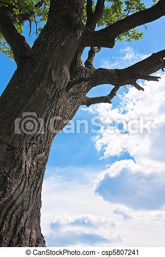 Oak and skyscape - csp5807241
