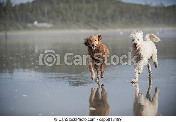 Two dogs run on beach 2 - csp5813499