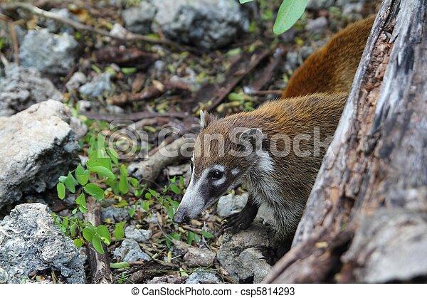 Coati ring Tailed Nasua Narica animal - csp5814293