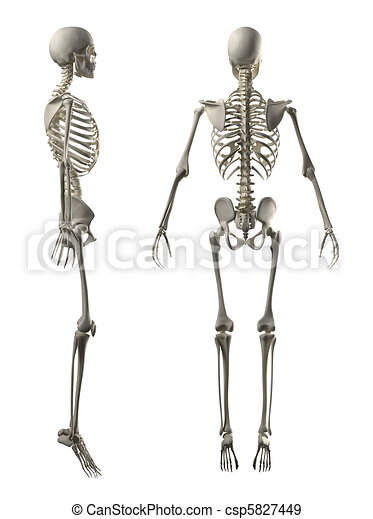 Male Full Skeleton Side and Back view - csp5827449