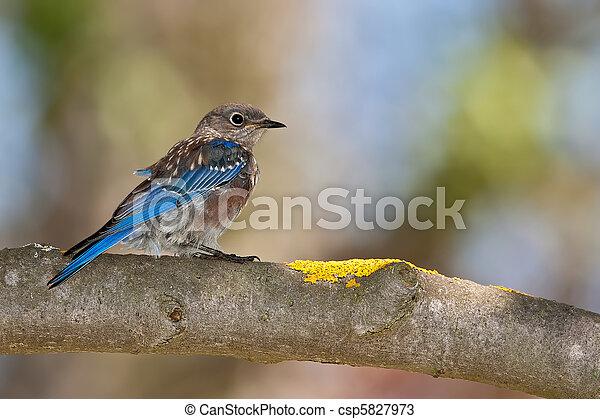 Western Bluebird (Sialia mexicana) - csp5827973