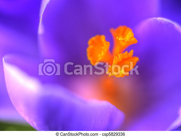 Macro close up of Spring crocus - csp5829336