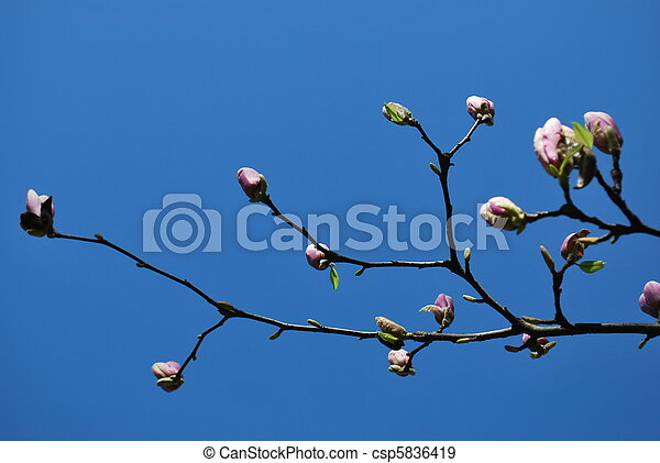 Pink magnolia flowers - csp5836419