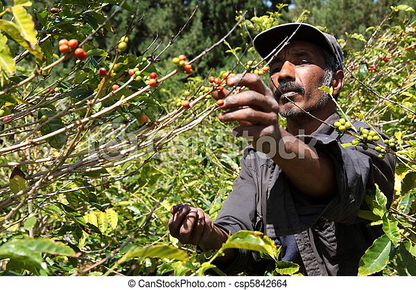 Coffee farmer picking ripe beans - csp5842664