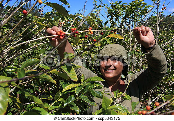 Woman picking coffee beans in sun - csp5843175