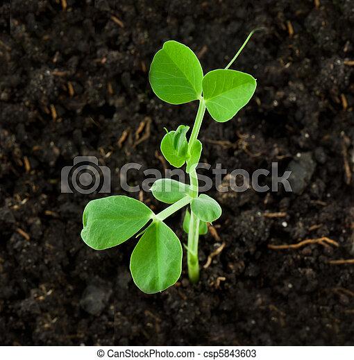 Photos de plante pois petit pois plante csp5843603 recherchez des images des - Planter les petit pois ...