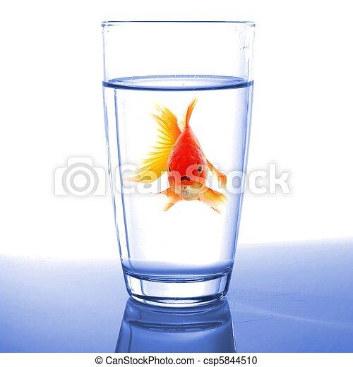 stock fotografie von goldfisch glas wasser goldfisch in glas wasser csp5844510 suche. Black Bedroom Furniture Sets. Home Design Ideas