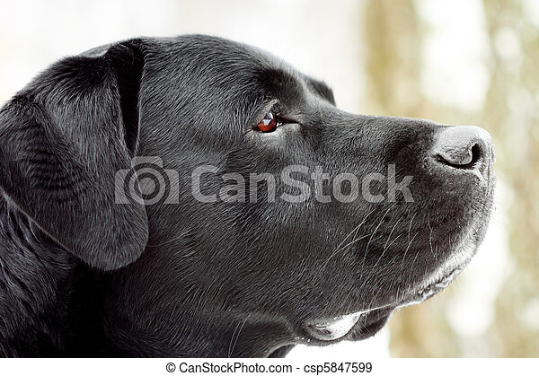 Labrador's head in profile. - csp5847599