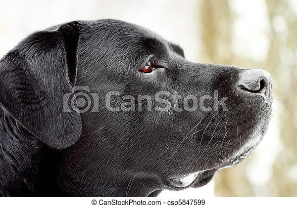 Labrador's head in profile. - csp5847599