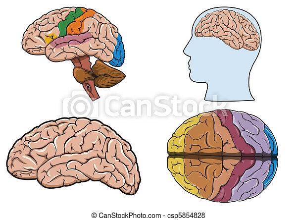 Human brain in vector - csp5854828