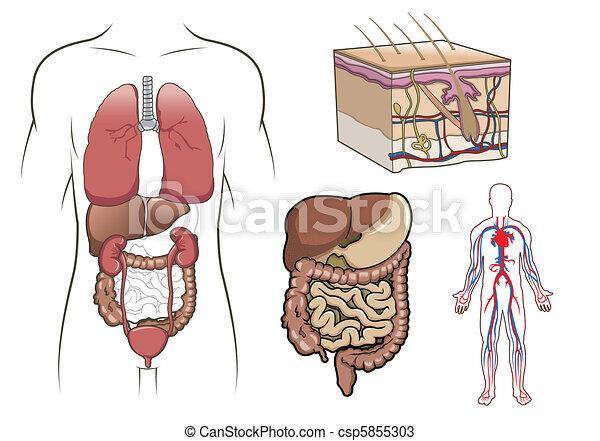 Vectors of Human Anatomy Vector csp5855303 - Search Clip ...