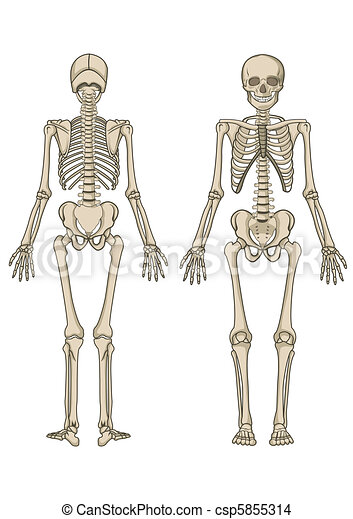 Human Skeleton Vector - csp5855314