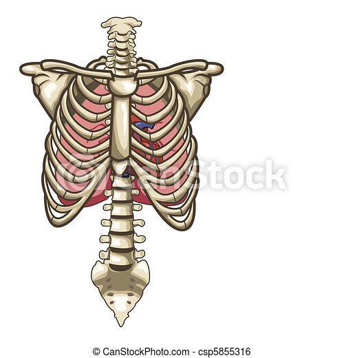 Human Anatomy Torso Skeleton Isolated White Background - csp5855316
