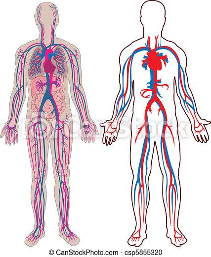 Human vein in vector - csp5855320