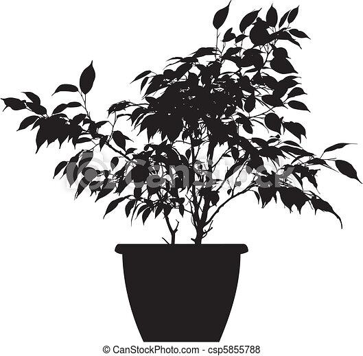 Vector de benjamina linnaeus ficus ficus el negro - Ficus benjamina precio ...