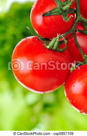 Close up of fresh red tomatoes still on the plant - csp5857109