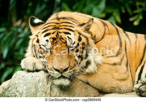 banque de photographies de tigre snoozing a tigre. Black Bedroom Furniture Sets. Home Design Ideas