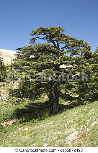 lebanese cedar - csp5872493