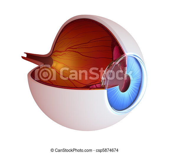 Eye anatomy - inner structure - csp5874674