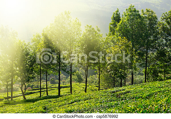 Tea plantations - csp5876992