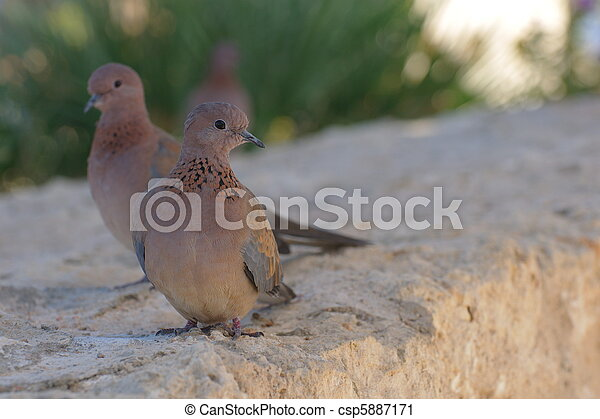 Egyptian pigeons at the beach in Sharm El Sheikh - csp5887171