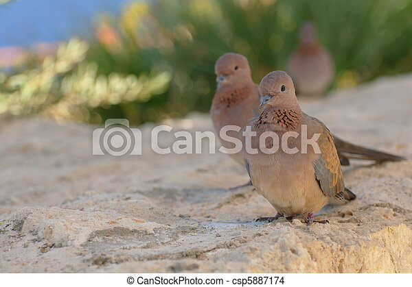 Egyptian pigeons at the beach in Sharm El Sheikh - csp5887174