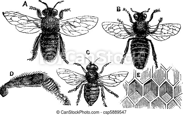 Male, female and neutral bee with leg close-up and honeycomb - csp5889547