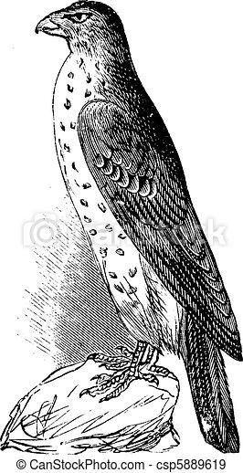 Cooper's Hawk or Accipiter Cooperi vintage illustration. - csp5889619