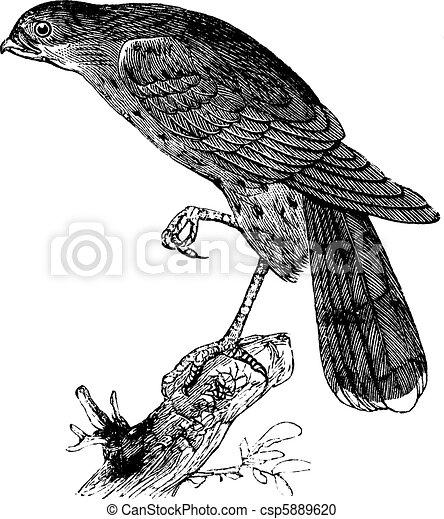 Sharp-shinned hawk or Accipiter fuscus bird vintage illustration. - csp5889620