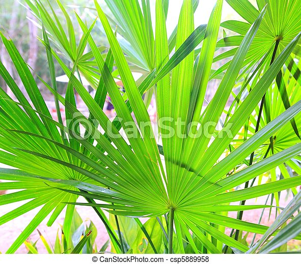 Chit Palm tree leaves in Yucatan rainforest mexico - csp5889958