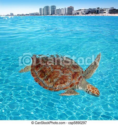 Green sea Turtle Caribbean sea surface Cancun - csp5890297