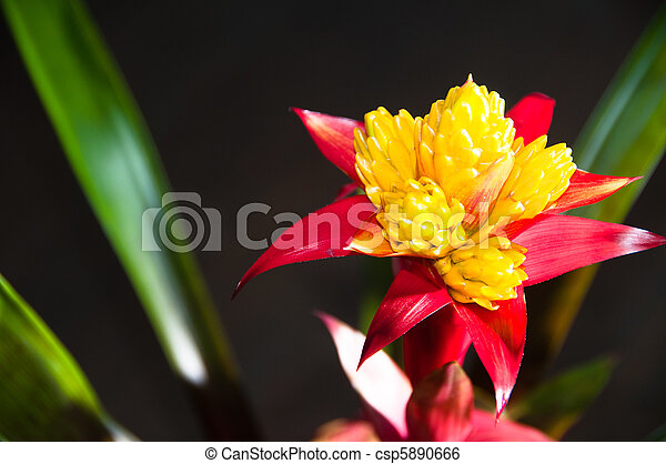 Blossoming Bromeliad Plant - csp5890666