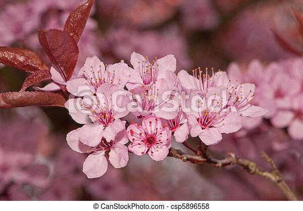 images de rose fleur printemps soleil arbre cerise rose fleur csp5896558. Black Bedroom Furniture Sets. Home Design Ideas