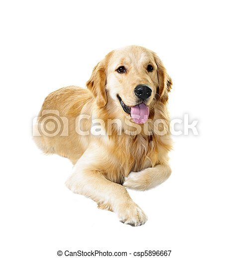 Golden retriever dog - csp5896667