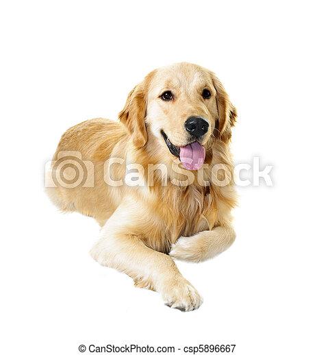 Golden retriever dog - csp5896667