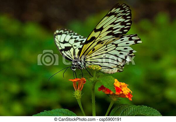 photographies de papillon id e leuconoe id e leuconoe. Black Bedroom Furniture Sets. Home Design Ideas