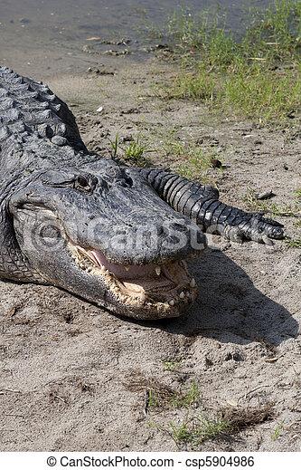 An American Alligator - csp5904986