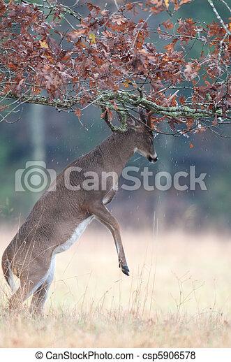 White-tailed deer buck rut behavior - csp5906578