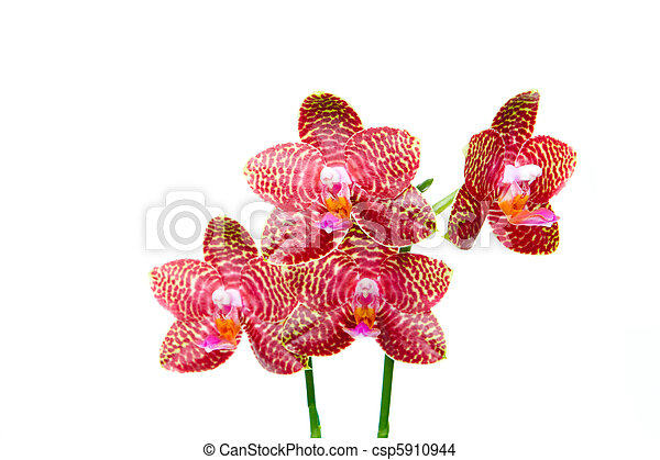 "Phalaenopsis Orchid ""Perfection Is"" Isolated White - csp5910944"