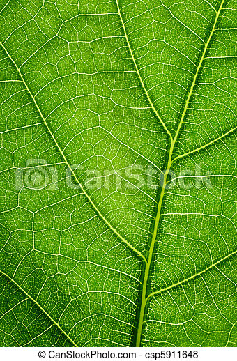 Green background. Oak leaf texture closeup. - csp5911648