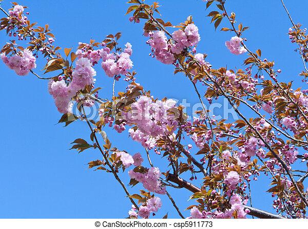 photos de rose bleu entiers fleur cerise arbre fleurs ciel csp5911773 recherchez. Black Bedroom Furniture Sets. Home Design Ideas